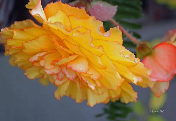 Seasonal Wall Art - Photograph - Begonia Beauty by Suzanne Gaff