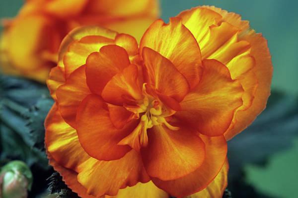 Begonia (begonia Tuberhybrida 'picotee') Art Print by Ann Pickford/science Photo Library