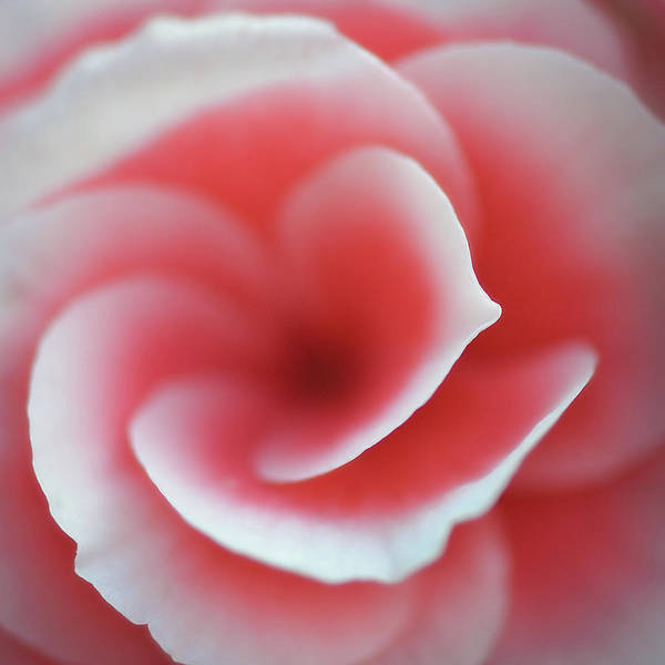 Wall Art - Photograph - Begonia by Lotte Gr??nkj??r