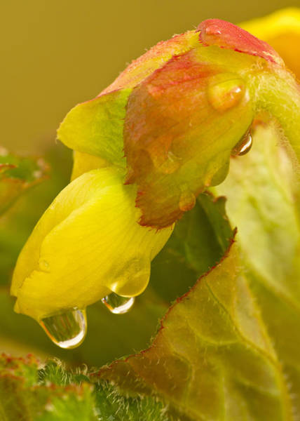 Photograph - Begonia Raindrops  by Diane Fifield