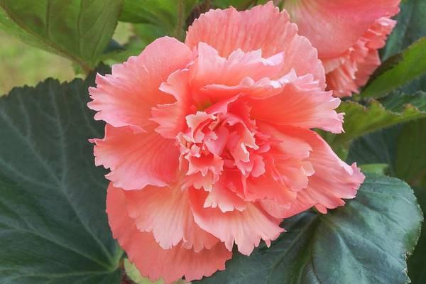 Begonia X Tuberhybrida 'samba' Art Print by Ann Pickford/science Photo Library