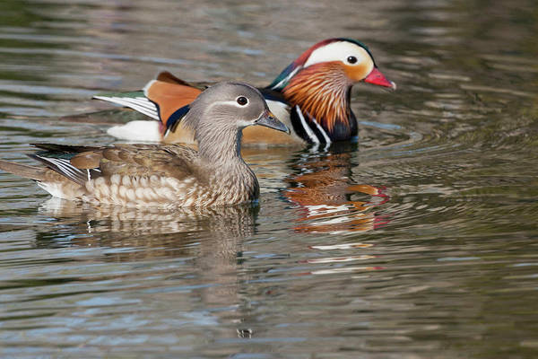 Mandarin Duck Photograph - Beijing, China, Mating Pair Of Mandarin by Alice Garland