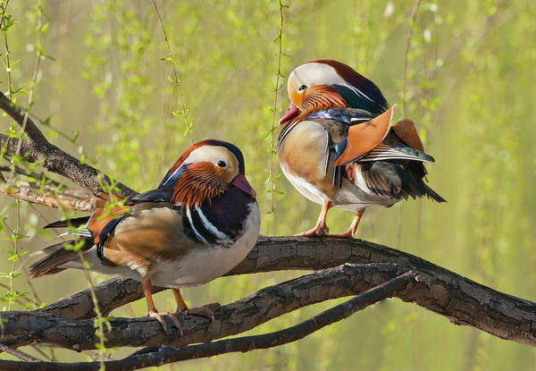 Mandarin Duck Photograph - Beijing, China, Two Male Mandarin Duck by Alice Garland