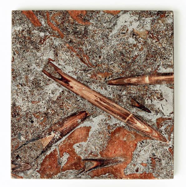 Cretaceous Wall Art - Photograph - Belemnite Fossilised In Limestone by Dorling Kindersley/uig