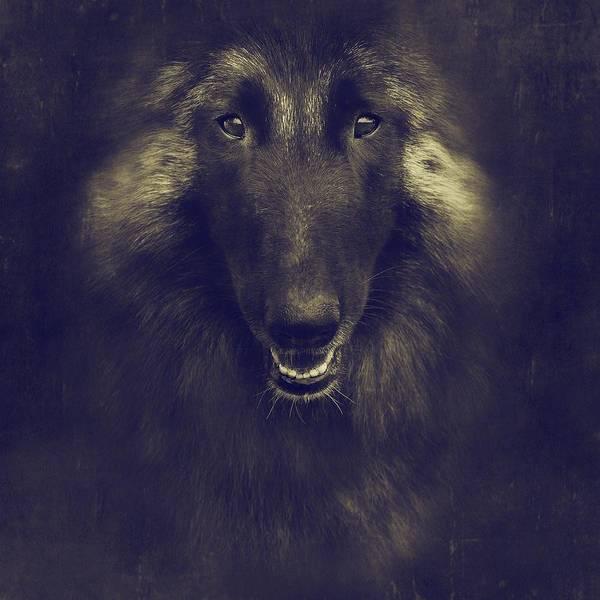 Belgian Photograph - Belgian Tervuren Portrait by Wolf Shadow Photography