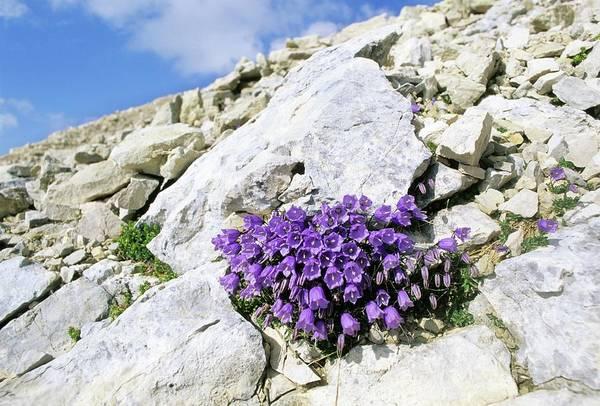 Campanulaceae Photograph - Bellflower (campanula Cochlearifolia) by Bruno Petriglia/science Photo Library