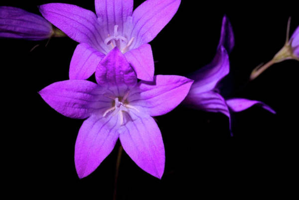 Spreading Wall Art - Photograph - Bellflower (campanula Palustris) by Bjorn Rorslett/science Photo Library