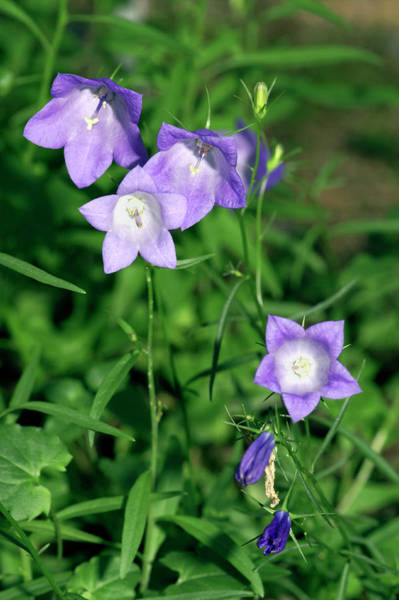 Wall Art - Photograph - Bellflowers (campanula Marchesetti) by Brian Gadsby/science Photo Library