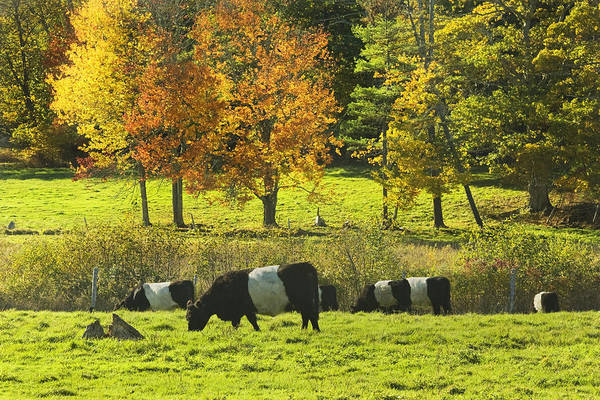 Galloway Wall Art - Photograph - Belted Galloway Cows Grazing On Grass In Rockport Farm Fall Maine Photograph by Keith Webber Jr