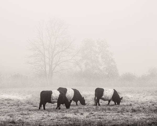Galloway Wall Art - Photograph - Belted Galloway Cows On Foggy Farm Field In Maine by Keith Webber Jr