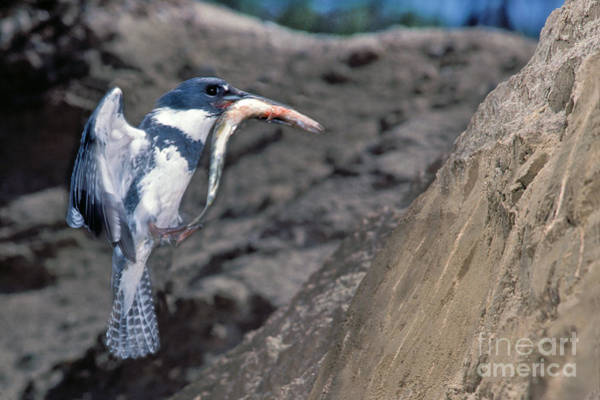 Wall Art - Photograph - Belted Kingfisher With Prey by Anthony Mercieca