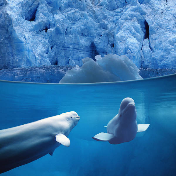 Wall Art - Photograph - Belugas Underwater Wview Of Glacier by John Hyde