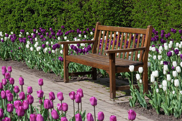 Mistress Photograph - Bench In Tulips (tulipa 'negrita' by Richard and Susan Day