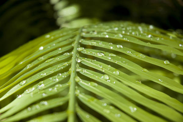 Photograph - Bending Ferns by Carolyn Marshall