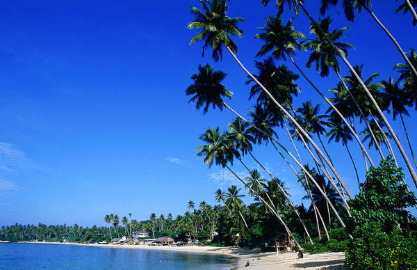 Elm Tree Photograph - Bending Palm Trees On Unawatuna Beach by Greg Elms