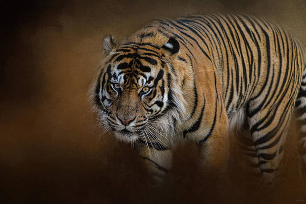 Photograph - Bengal Stare by Jai Johnson