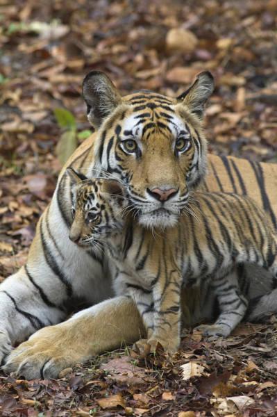 Photograph - Bengal Tiger And Cub Bandhavgarh Np by Suzi Eszterhas