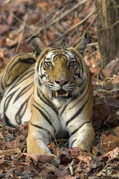 Photograph - Bengal Tiger Bandhavgarh Np India by Suzi Eszterhas