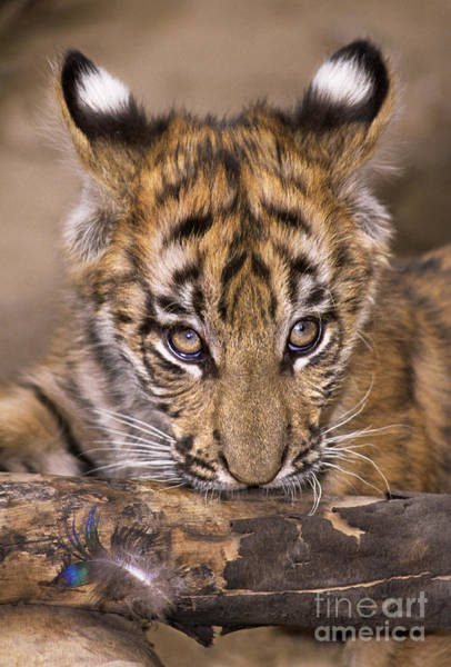 Photograph - Bengal Tiger Cub And Peacock Feather Endangered Species Wildlife Rescue by Dave Welling