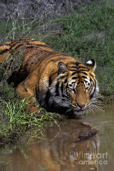 Photograph - Bengal Tiger Drinking At Pond Endangered Species Wildlife Rescue by Dave Welling