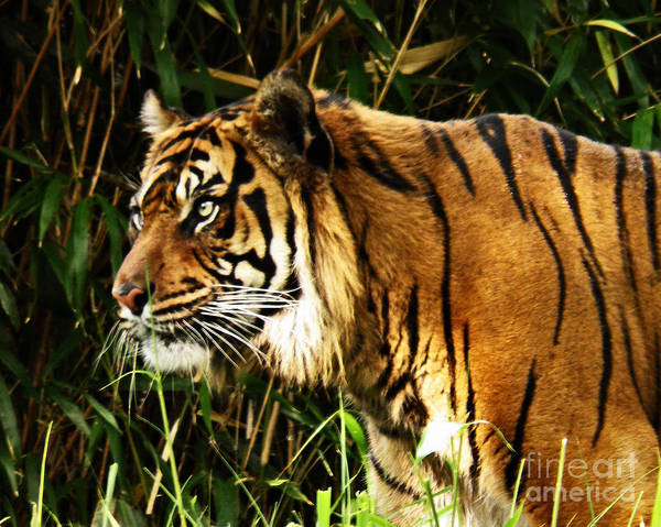 Wall Art - Photograph - Bengal Tiger by Emily Kelley