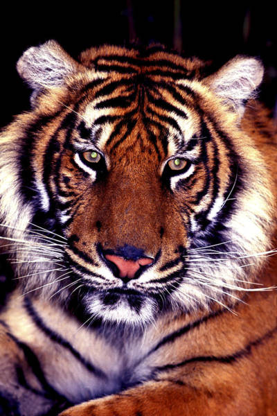 Photograph - Bengal Tiger Eye To Eye by Paul W Faust -  Impressions of Light