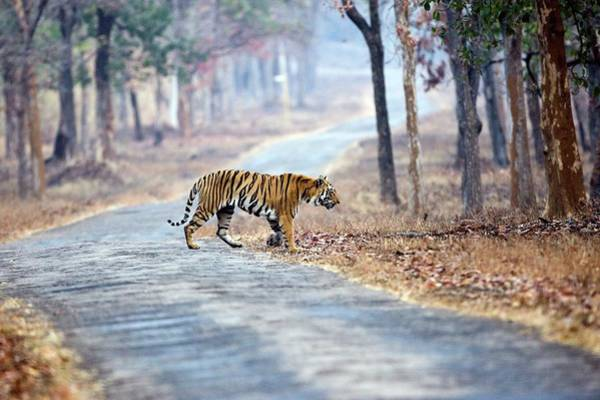 Road Side Photograph - Bengal Tiger by John Devries/science Photo Library