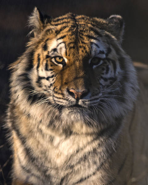 Hello Kitty Wall Art - Photograph - Bengal Tiger - Eye Of The Tiger by Matt Plyler