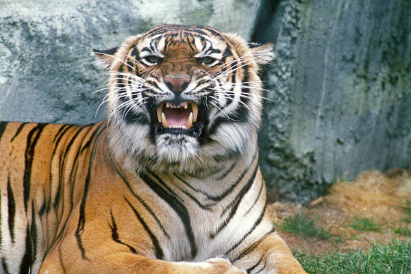 Growling Wall Art - Photograph - Bengal Tiger Panthera Tigris India by Animal Images