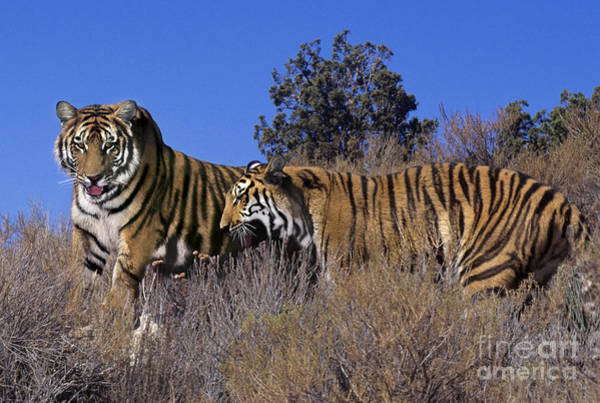 Photograph - Bengal Tigers On A Grassy Hillside Endangered Species Wildlife Rescue by Dave Welling