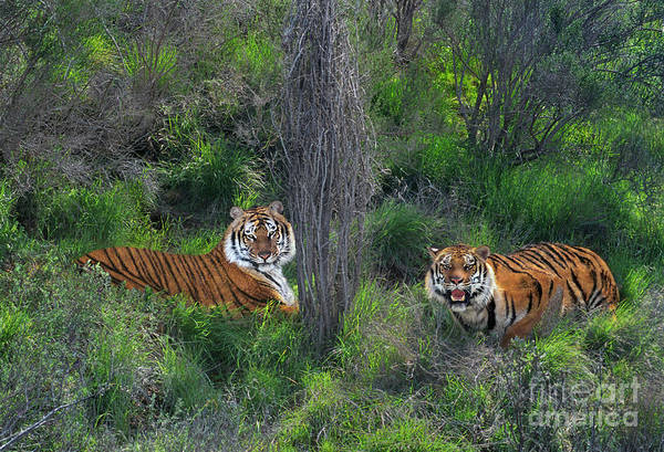 Photograph - Bengal Tigers On Grassy Hillside Endangered Species Wildlife Rescue by Dave Welling