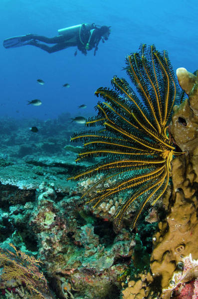 Feather Stars Wall Art - Photograph - Bennett's Feather Star (oxycomanthus by Pete Oxford