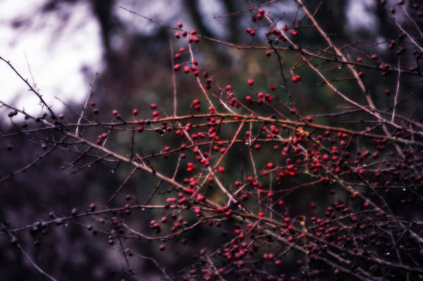 Twig Mixed Media - Berries  by Heather L Wright