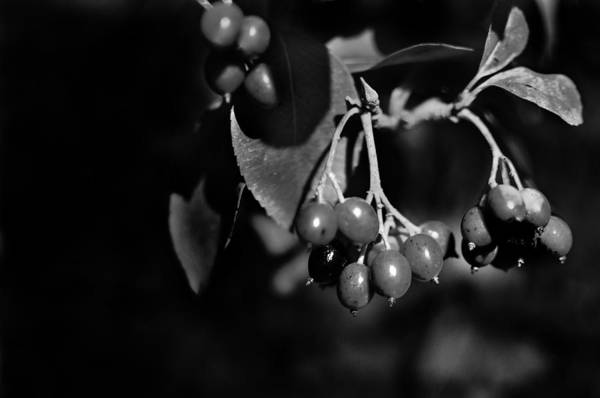 Photograph - Berries In Black And White by Maggy Marsh