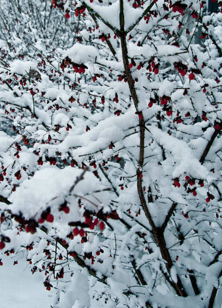 Wall Art - Photograph - Berries In Snow by Nickaleen Neff