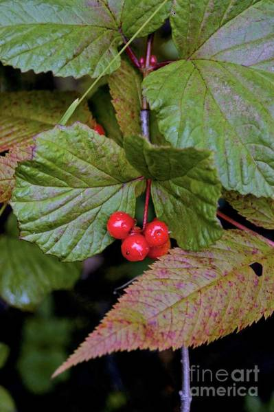 Photograph - Berries by Joseph Yarbrough