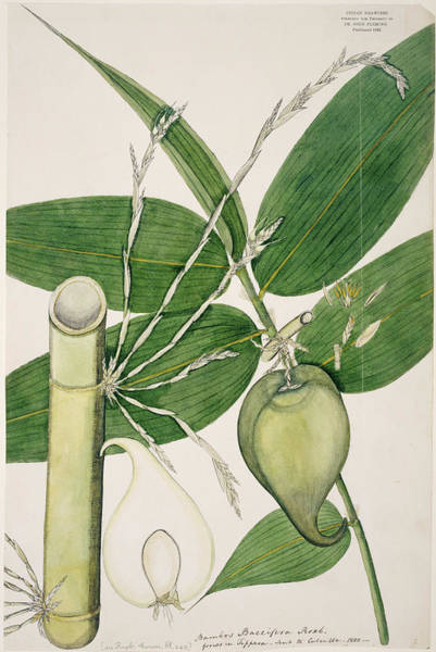 Bamboo Photograph - Berry Bamboo (melocanna Baccifera) by Natural History Museum, London/science Photo Library