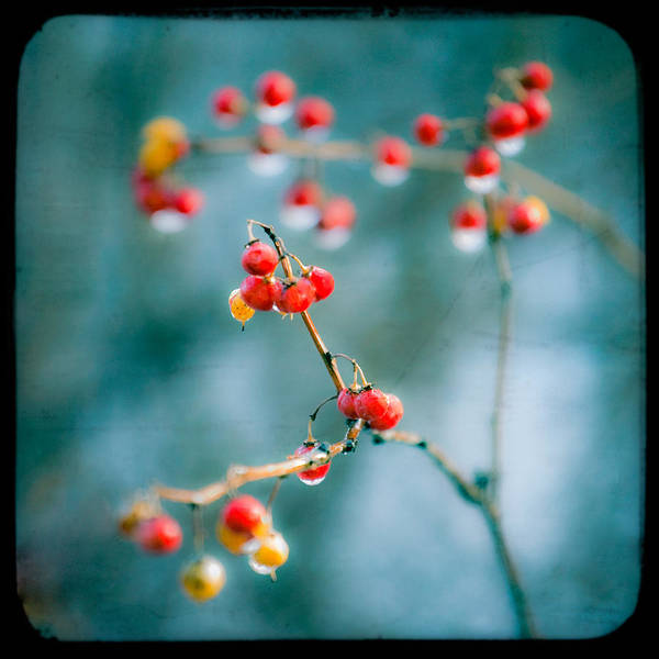 Photograph - Berry Nice - Red Berries - Winter Frost Icy Red Berries - Gary Heller by Gary Heller