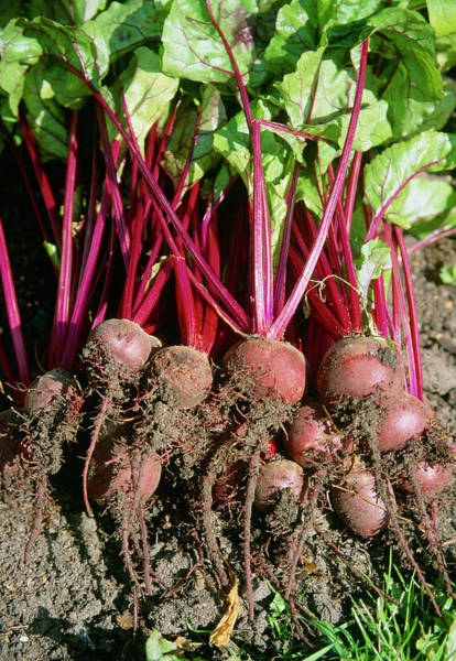 Beetroot Wall Art - Photograph - Beta Vulgaris. by The Picture Store/science Photo Library