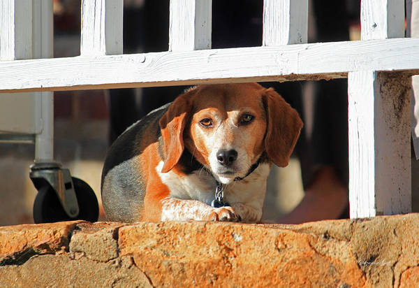 Dog Watch Photograph - Beware - Guard Beagle On Duty by Suzanne Gaff