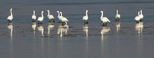 Cygnus Photograph - Bewick's Swans by Dr. John Brackenbury/science Photo Library