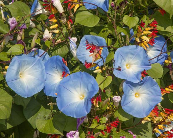 Photograph - Bhubing Palace Gardens Morning Glory Dthcm0433 by Gerry Gantt