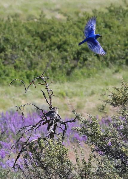 Photograph - Bickleton Bluebird In Flight by Carol Groenen