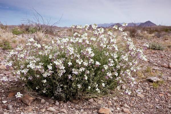 Chihuahuan Desert Photograph - Bicoloured Fanmustard (nerisyrenia Camporum) by Bob Gibbons/science Photo Library
