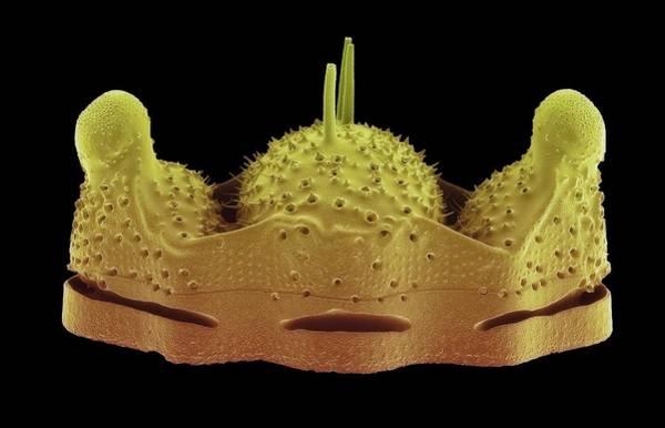 Bacillariophyceae Wall Art - Photograph - Biddulphia Diatom by Steve Gschmeissner/science Photo Library