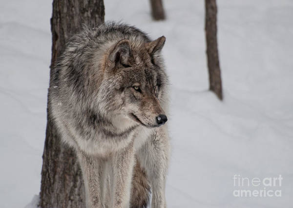 Timberwolves Photograph - Big Bad Wolf by Bianca Nadeau