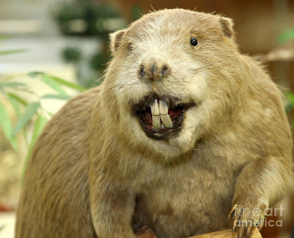 What do beaver teeth look like