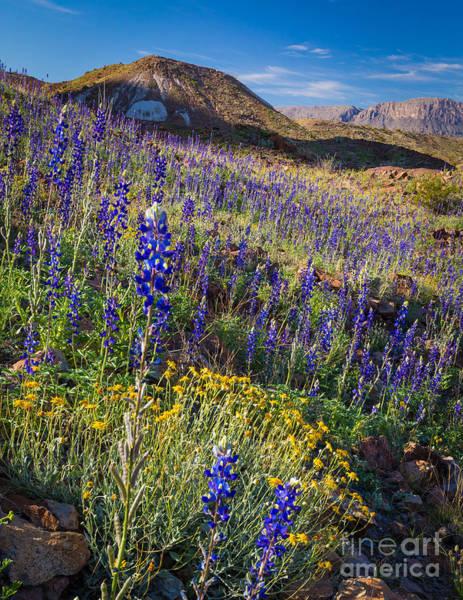 Texas Bluebonnet Photograph - Big Bend Flower Meadow by Inge Johnsson