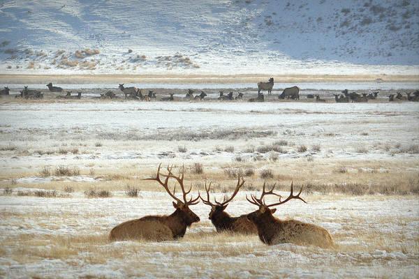 Elk Herd Photograph - Big Boys Club.. by Al  Swasey