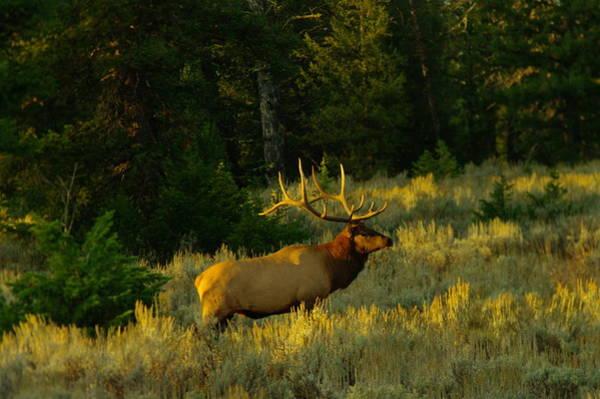 Wapiti Photograph - Big Bull In The Morning Light by Jeff Swan
